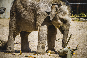 baby elephant playing with a log of wood