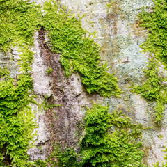 Fresh lush green moss on the bark of a tree