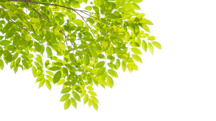 green leaves and branches on white background