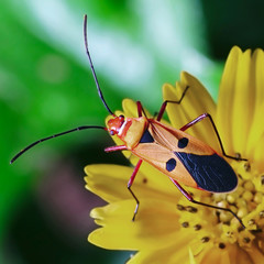 red stinkbug