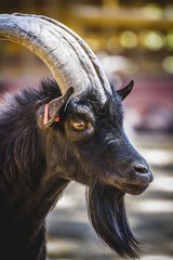 pastoral, goat with horns and thick fur