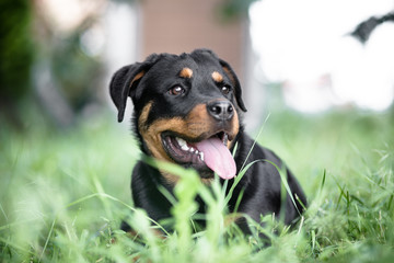 Young Rottweiler lying on the grass
