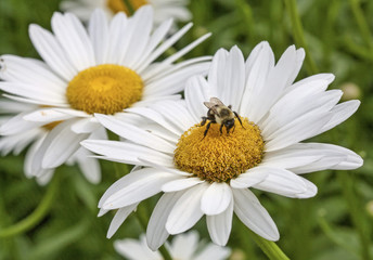 Bumblebee with two daisies