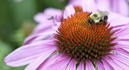 Closeup of a bumblebee on an echinacea flower (Echinacea purpure