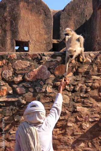 Leinwandbild Motiv Indian man feeding gray langurs at Ranthambore Fort, India
