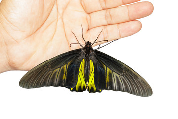 Male Common Golden Bird-wing butterfly hanging on hand