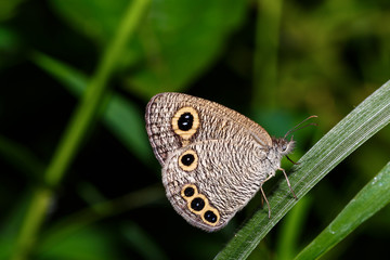 The Common Four-ring butterfly
