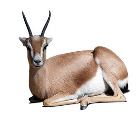 adult dorcas gazelle.  Isolated over white
