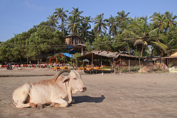 Cow on the beach
