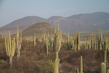 Saguaro cactuses