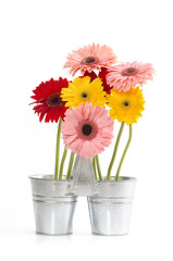Group of  Daisy in zinc bucket  isolated, Clipping path