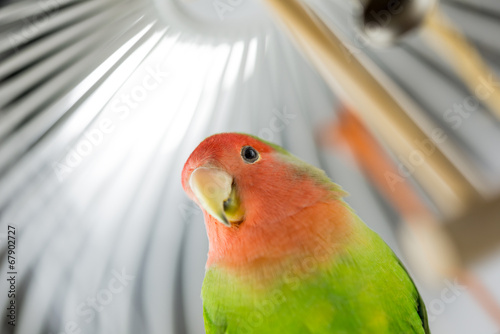 Staande foto Papegaai Rosy Faced Lovebird in a cage
