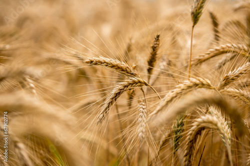 Ripening wheat in an agricultural field