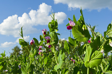 Blooming peas against the sky