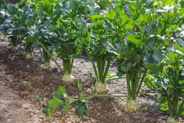 Sellerie Pflanzen im Garten