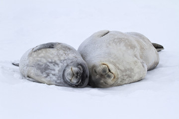 female and a large puppy Weddell seals lying on the ice in Antar