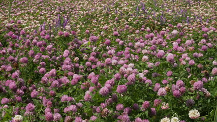 A large field of blooming clover
