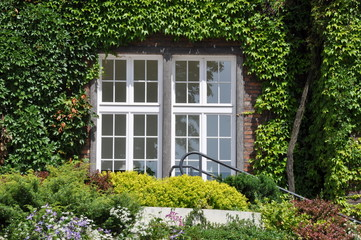 Wall with window covered with green ivy in the garden