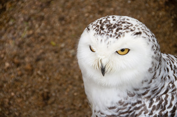 Close portrait of snowy owl