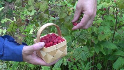 gardener in farm picking wild ripe raspberries