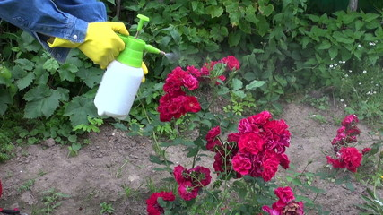 gardener spraying rose bush buds with insecticide