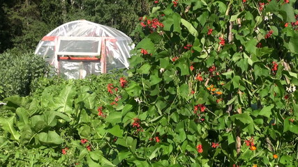 blossoming beans and greenhouse hothouse in summer garden