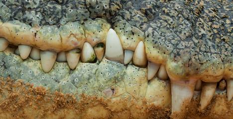 Krokodil-Zähne