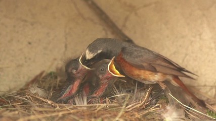 Uccello codirosso porta il cibo nel nido