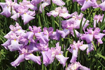 花菖蒲の園芸品種