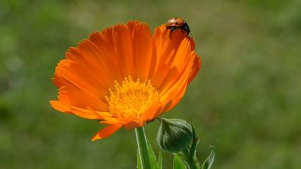 beautiful ladybird ladybug on calendula marigold medical flower
