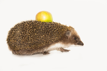 Forest wild hedgehog with yellow apple