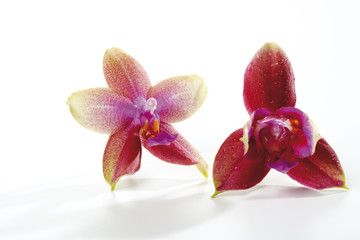 Orchideen , close-up