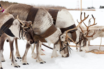 Reindeers on snow