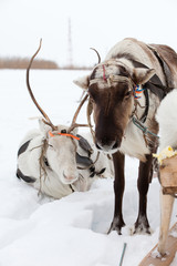 Reindeers on the snow