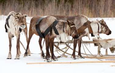 Reindeers on the snow