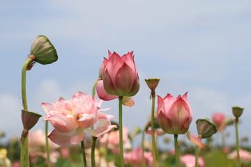 Peony Lotus