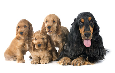 familiy english cocker