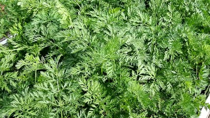 Carrot tops on a bed in the garden