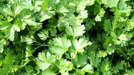Plantation of parsley in the garden