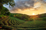 Fototapety tea plantation landscape sunset