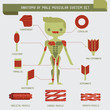 ������, ������: Anatomy of male muscular system