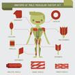 Постер, плакат: Anatomy of male muscular system
