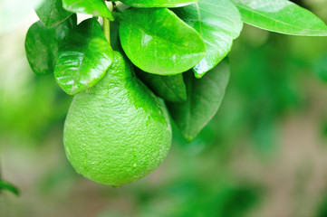 pomelo fruit grow on tree