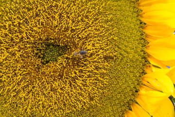 Honeybee On Sunflower