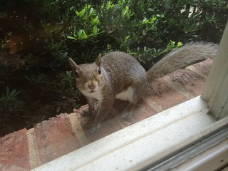 Gray squirrel on ledge