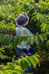Ylang-Ylang harvest