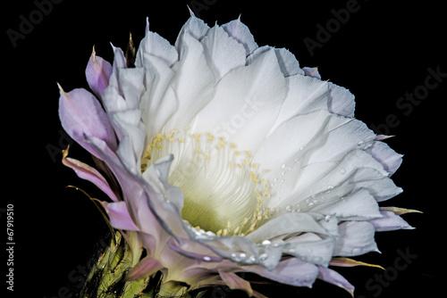 In de dag Cactus blühender Echinopsis eyriesii