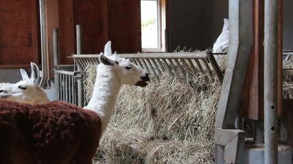 Alpakas in einem Stall