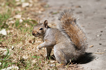 Bright eyed grey squirrel