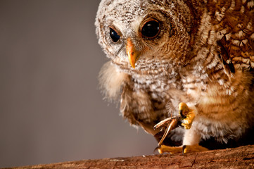 Young wood owl